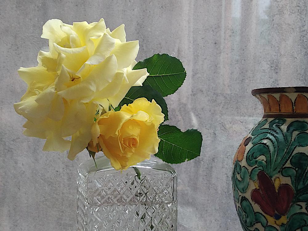 Rose jaune et son araignée